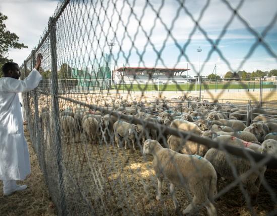 12 septembre 2016 : Les familles observent les moutons prêts à être sacrifiés pour la fête de l'Aïd à côté d'un abattoir mobile mis en place à Sarcelles. La plupart ont soigneusement choisi le leur depuis plus d'une semaine, et il est généralement très difficile d'en trouver un le jour même. Sarcelles (75), France.